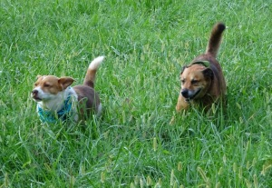 Snickers and Maggie working the territory in tandem.