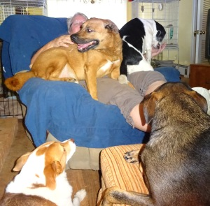 How many dogs can one lap hold?